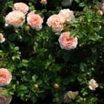 Сколько стоит кустовая роза: описание и особенности выбора