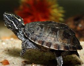 Сколько стоят домашняя водная и сухопутная черепахи