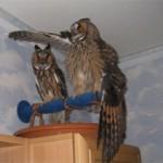 Сколько стоит домашняя сова и где ее купить