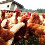 Сколько стоит живая курица в России?