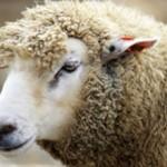 Сколько в среднем стоит живой баран: виды и цены