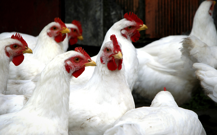 Курицы живые