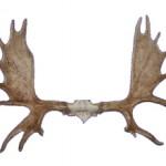 Сколько стоят рога оленя и от чего зависит цена