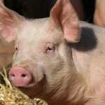 Сколько стоит живая свинья и поросята?