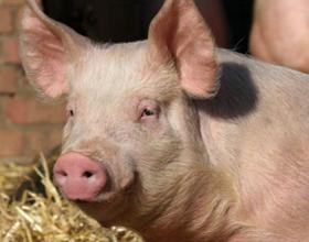 Сколько стоит живая свинья