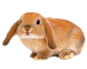 Сколько в среднем стоит живой домашний кролик?