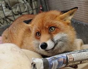 Сколько стоит домашняя живая лиса