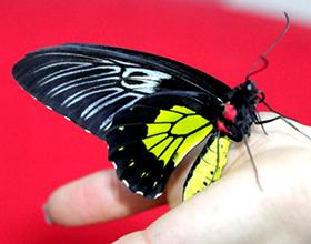 Сколько стоит живая бабочка