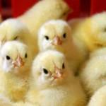 Cколько стоит живой цыпленок бройлера и от чего зависит цена?