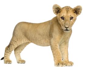 Сколько стоит живой львенок в России