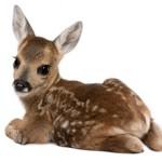 Сколько в среднем стоит живой олень и где его можно приобрести