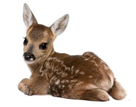 Сколько в среднем стоит живой олень