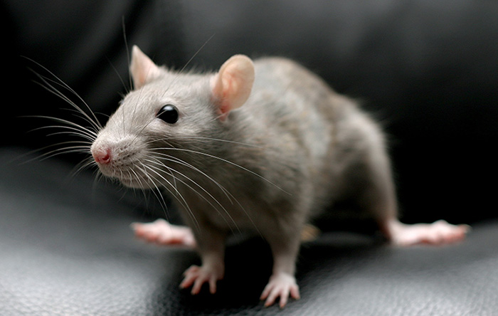 Мышь дома