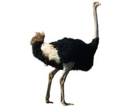 Сколько стоит живой страус в среднем по России?