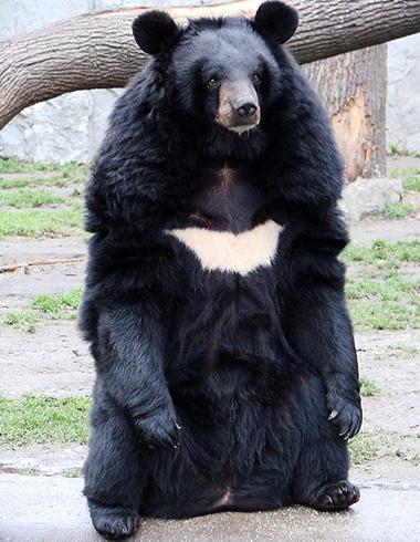 Тибетский медведь