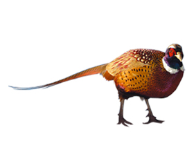 Сколько в среднем стоит живой фазан и где его купить