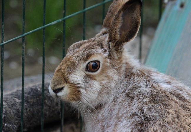 Заяц в клетке