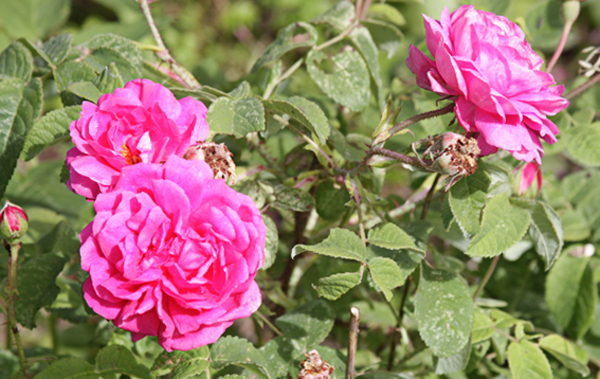Роза кустовая, махровая