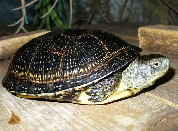 Европейская болотная черепаха