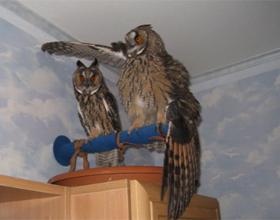 Сколько стоит домашняя сова