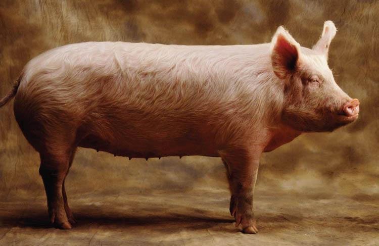 Свиноматка
