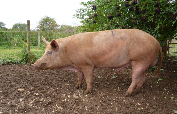 Свинья живая стоит