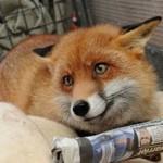 Сколько стоит домашняя живая лиса и где ее можно купить