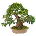 Сколько в среднем стоит живое дерево бонсай и где его купить