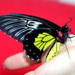 Сколько стоит живая бабочка и где ее можно купить