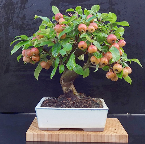 Яблоня, цена — 7 000 - 55 000 руб.