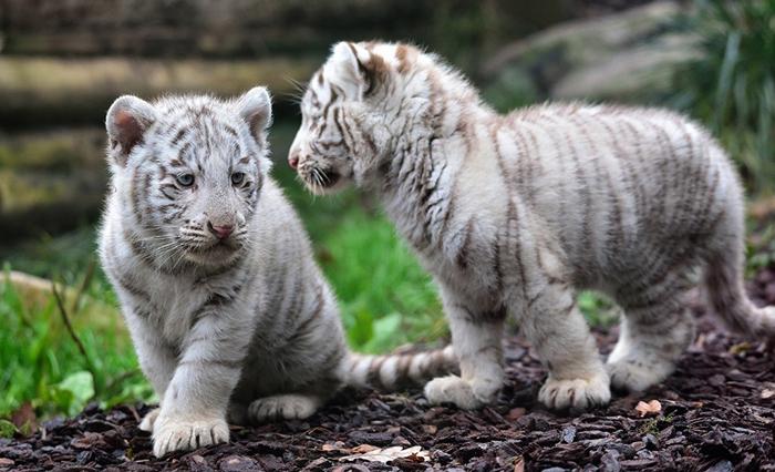 Бенгальские тигрята