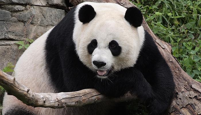 Большая панда смотрит