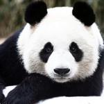 Сколько стоит живая панда в России и можно ли ее купить?