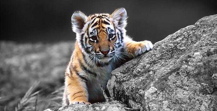 Индокитайский тигренок