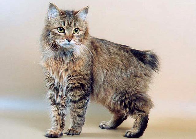 Кошка как рысь порода