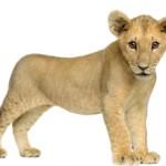 Сколько стоит живой львенок в России и можно ли его купить?