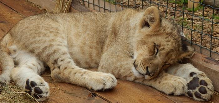 Львенок спит