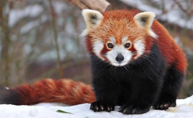 Красивая малая панда