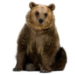 Сколько в среднем стоит живой медведь и где его можно купить?