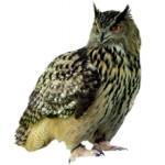 Сколько в среднем в России стоит живая сова и можно ли ее купить?