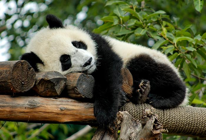 Панда лежит