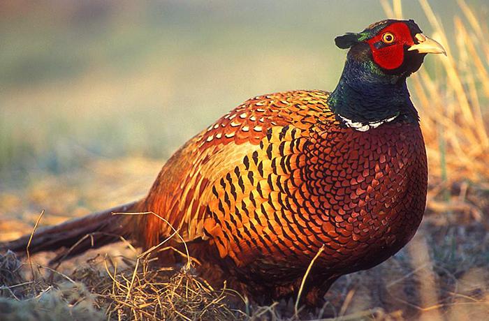 Простой фазан