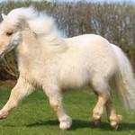 Сколько в среднем по России стоит живой пони и где его можно купить