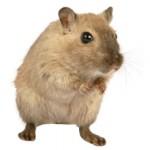 Сколько в среднем стоит живая мышь и где ее купить?