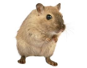 Сколько в среднем стоит живая мышь