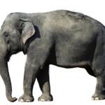 Сколько стоит живой слон в России и можно ли его купить?