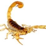Сколько стоит живой скорпион и где его можно купить