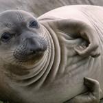 Сколько стоит живой тюлень и можно ли его купить?