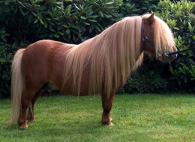 Шетландский пони