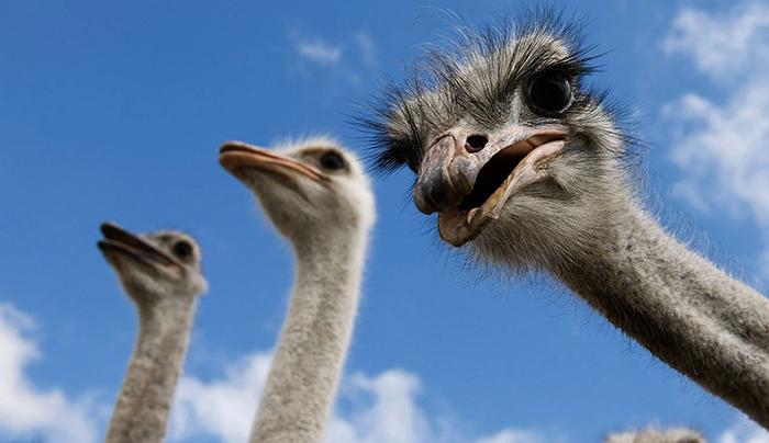 3 страуса